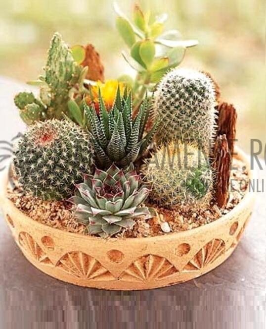 Ghiveci Cu Cactusi